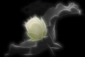 Lotus_Flower2